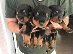 Filhotes de Rottweiler - entrega com 45 dias