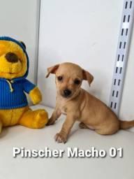 Os mais lindos bebês Pinscher