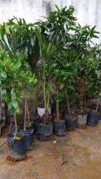 Muda de árvores frutíferas