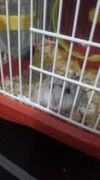 Hamster anão Russo Fêmea