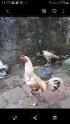 Galo mestiço é uma galinha.vendo