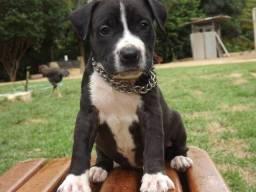 Filhote de pitbull fêmea disponível