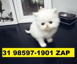 Gatil em BH Filhotes Lindos de Gatos Persas