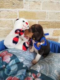 Reservas abertas, Beagle machinho e fêmea, filhotes com procedência e garantia!