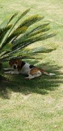 Beagle fêmea procura macho