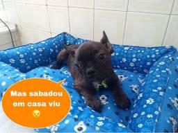 Muito Bem Vacinados Bulldog Filhotes Lindos