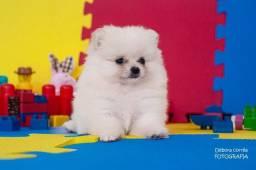 Lulu da Pomerania/Spitz Alemao Baby Face Filhote
