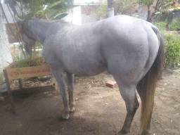 Cavalo quarto de milha tordilho pronto pra vaquejada.