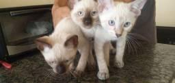 Título do anúncio: Gatinhos sianezes