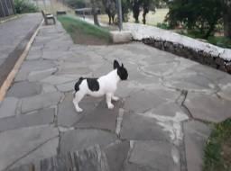 Lindo Bulldog francês macho