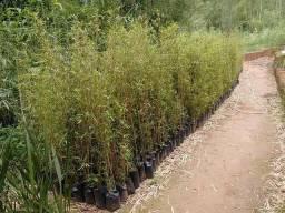 Mudas de bambusa