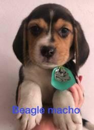 Beagle venha conhecer