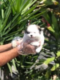 Lulu da Pomerânia lindos filhotes para sua família