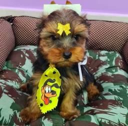 Título do anúncio: Macho perfeito de yorkshire terrier disponível a pronta entrega