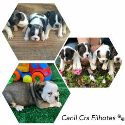 Bulldog Francês com pedigree microchip até 18x