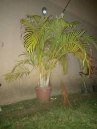 Título do anúncio: Palmeira Areca