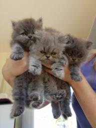 Filhotes Persa Pet Legítimos