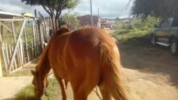 Vendo egua de esteira QM mança e muito linda