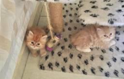 Persa Lindos gatinhos dísponiveis