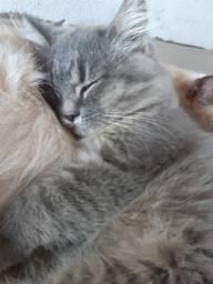 Filhotes de gato persa (vendo)