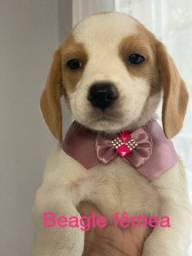 Belíssimos filhotes de beagle parcelamos e  entregamos