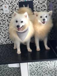 Spitz japonês casal