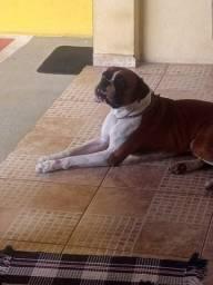 Boxer macho