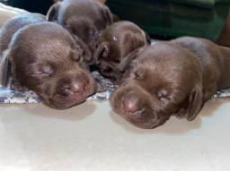 Filhotinhos de Labrador chocolate com pedigree