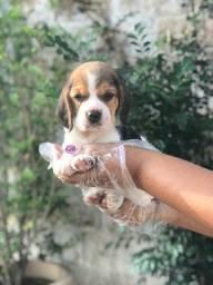 Beagle com garantia de saúde