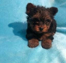 Título do anúncio: Menino lindo de yorkshire terrier