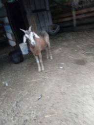 Cabras a venda zona sul porto alegre