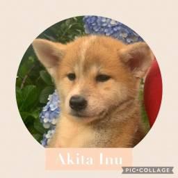 Akita Inu com pedigree e microchip em até 18x