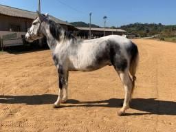 Título do anúncio: Cavalo Mangalarga Marchador. Registrado. Pampa de Tordilho