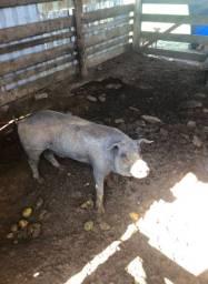 Vende porco cachaço caipira