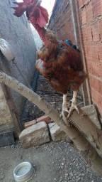 Vendo galinha e galos