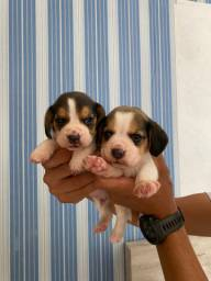 Lindos beagles tricolores