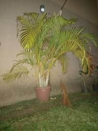 Título do anúncio: Palmeira Areca ?