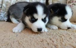 Vendo lindos filhotes husky siberiano