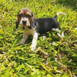 Beagles fêmea com garantias
