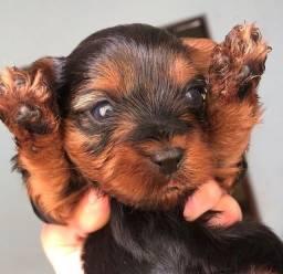Título do anúncio: Príncipe lindo de yorkshire terrier disponível