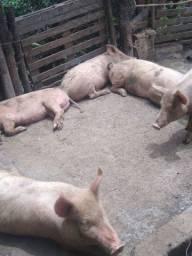 Porcos para a bater