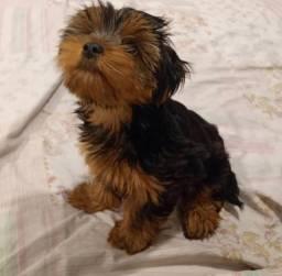Título do anúncio: yorkahire terrier puro filhote macho
