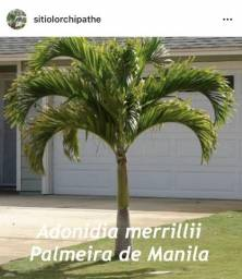 Palmeira de Manila