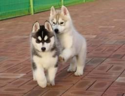 Filhotes de husky siberiano.
