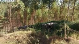 Mata de eucalipto