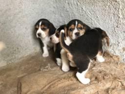 Filhotes de beagle puro