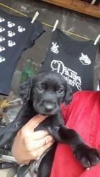 Filhote de Labrador macho preto