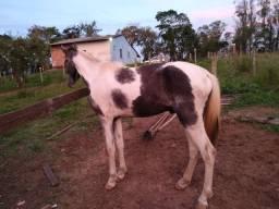 Cavalo mangalarga garanhão