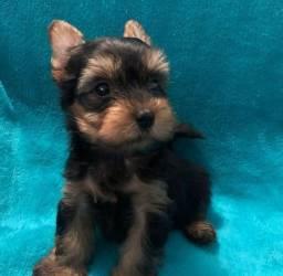 Título do anúncio: Bebê lindo de yorkshire terrier macho