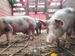 Título do anúncio: 9reas o kl do porco vivo